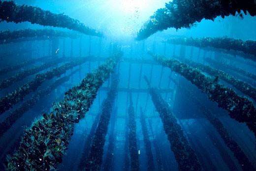 Stock Photo: 1566-402590 Mussel farm. Galicia, Spain