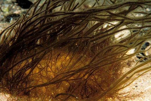 Brown alga (Asperococcus fistulosus). Galicia, Spain : Stock Photo