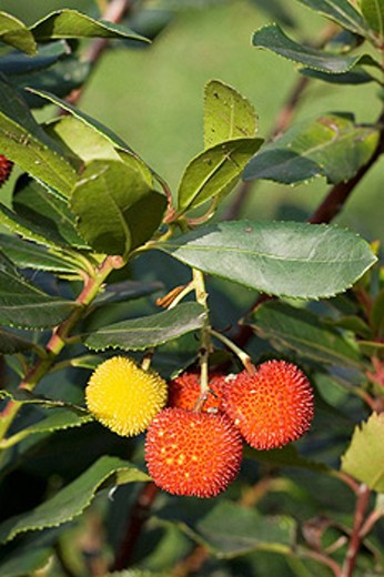 Strawberry tree (Arbutus unedo), fruits. : Stock Photo