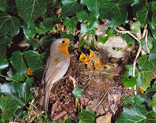Stock Photo: 1566-403965 European Robin (Erithacus rubecula) at nest. Sussex, England, UK