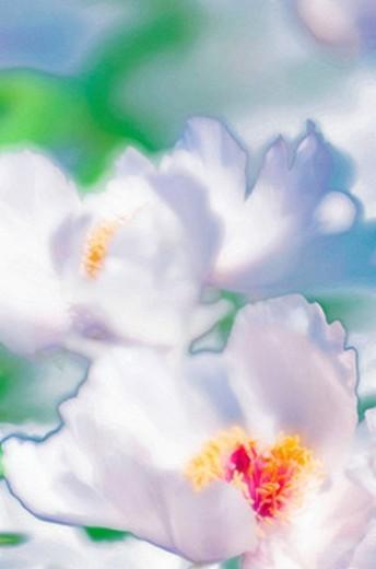 White Tree Peony Blossom. Paeonia suffruticosa. April 2006, Maryland, USA : Stock Photo