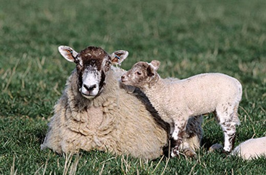 Ewe and lams. Berkshire, England, UK : Stock Photo