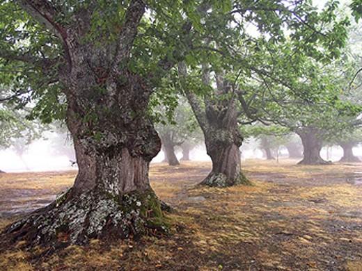 Chestnuts (Castanea sativa). Santuario de la Alcobilla, Rábano de Sanabria, Zamora province, Spain. : Stock Photo