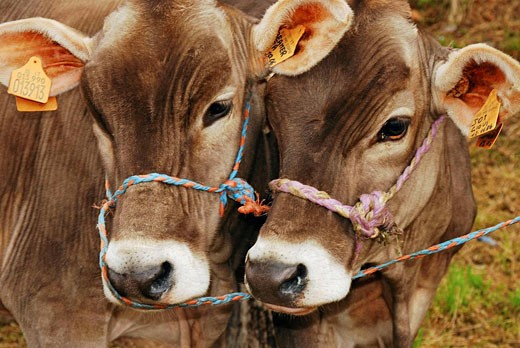 Stock Photo: 1566-406488 Couple of beamer cows