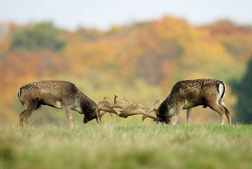 Stock Photo: 1566-407548 Fallow deer (Cervus dama). October, Denmark.