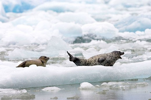 Harbor Seals lay on floating ice in South East Alaska, USA : Stock Photo