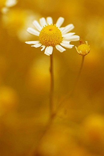 Stock Photo: 1566-407975 Wild Camomile  (Chamomilla Recutita).