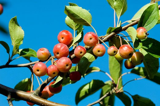 Cherries on tree.  (Prunus sp.).  Regent´s Park, London, UK. : Stock Photo
