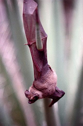 Stock Photo: 1566-409407 Mexican Free-tailed Bat (Tadarida brasiliensis). Carlsbad Caverns National Park, New Mexico, USA