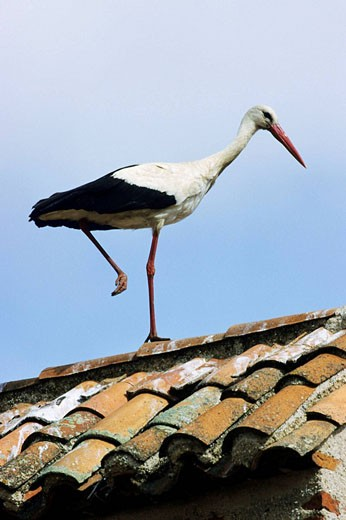 White Stork (Ciconia ciconia) on roof. Extremadura, Spain : Stock Photo