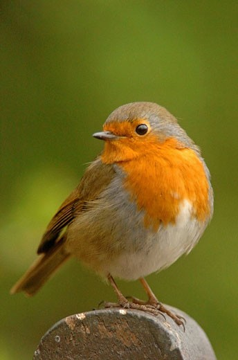 Stock Photo: 1566-410107 Robin