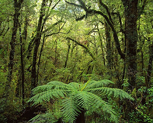 Stock Photo: 1566-410439 Rainforest, Fiordland National Park. South Island, New Zealand