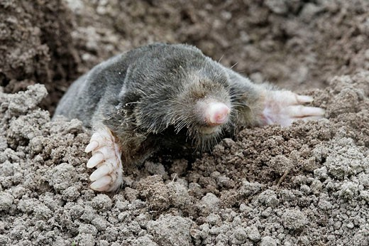 Mole in garden. Somme, Picardie, France : Stock Photo