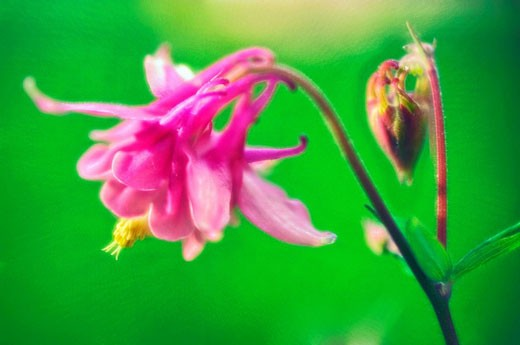 Stock Photo: 1566-411878 Pink Columbine Flower. Aquilegia formosa. April 2006, Maryland, USA