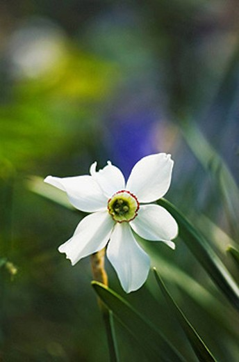 Poeticus Daffodil. Narcissus poeticus. April 2007, Maryland, USA : Stock Photo