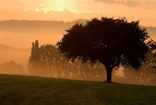 Cherry tree and poplars, sunrise and morning mist in autumn, Franconian Switzerland, Bavaria, Germany : Stock Photo
