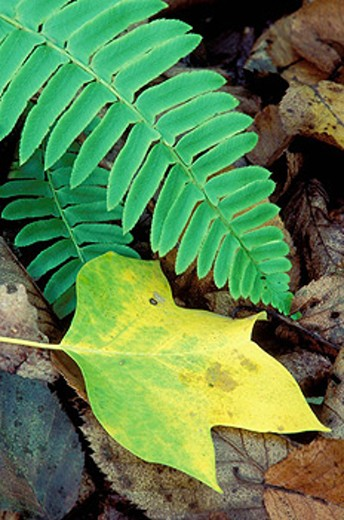 Stock Photo: 1566-414304 Tulip poplar (Liriodendron tulipifera) leaf with Christmas fern (Polystichum acrostichoides), Devil´s Den Preserve, Connecticut, USA.
