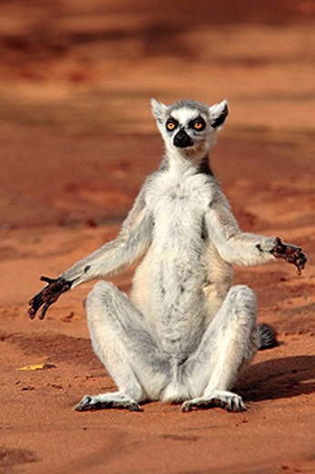 Stock Photo: 1566-414574 Ring-tailed lemur (Lemur catta), sunbathing, Berenty, southern Madagascar