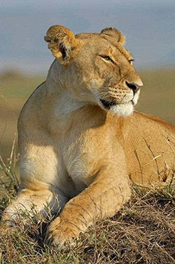 Lioness (Panthera leo), resting on a termite mound. Massai Mara, Kenya. : Stock Photo