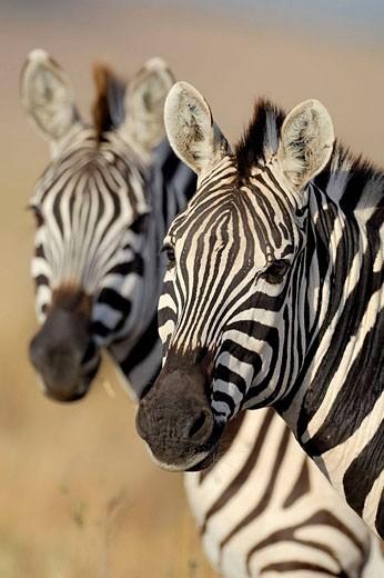 Common Zebras (Equus quagga boehmi). Massai Mara, Kenya. : Stock Photo