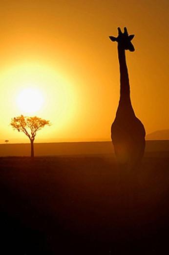 Massai Giraffe (Giraffa camelopardalis tippelskirchi) at sunrise. Massai Mara, Kenya. : Stock Photo