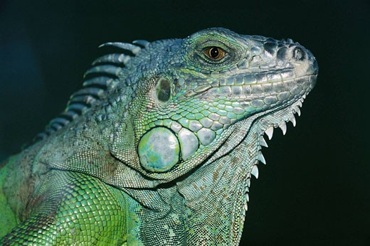 Green Iguana (Iguana iguana) : Stock Photo