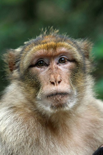 Stock Photo: 1566-418031 Barbary Macaque (Macaca sylvanus). La Montagne des Singes. Kintzheim. Alsace. France