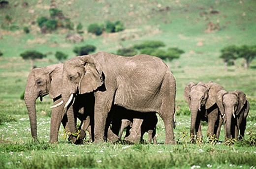 African Elephants (Loxodonta africana). Masai Mara Nature Reserve, Kenya : Stock Photo