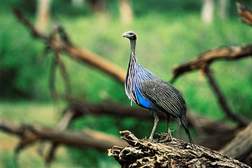 Stock Photo: 1566-418513 Vulturine Guineafowl (Acryllium vulturinum). Samburu Game Reserve, Kenya