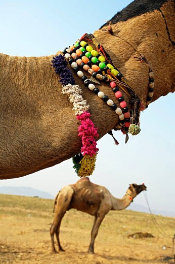 Pushkar camel fair. Pushkar. Rajasthan. India. Asia : Stock Photo