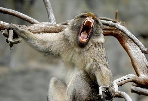 Barbary Macaque (Macaca sylvanus) having a yawn, Edinburgh Zoo, Scotland, UK : Stock Photo