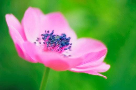 Light Pink Anemone Poppy Flower. Anemone coronaria. April 2007. Maryland, USA : Stock Photo