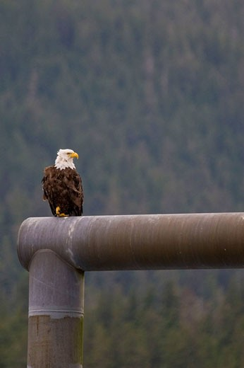 Stock Photo: 1566-421234 Bald eagle perched in a dock overlooking Juneau, Alaska, USA