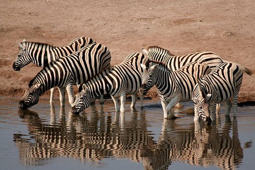 Zebras at waterhole, Etosha National Park. Namibia : Stock Photo