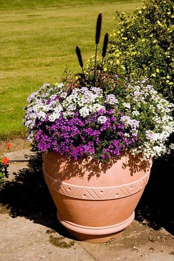 Verbena & Pennisetum in a pot : Stock Photo