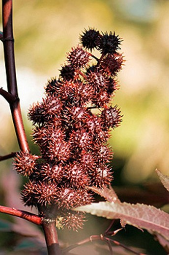 Castor Bean Seedheads. Ricinus communis. September 2007, Maryland, USA : Stock Photo
