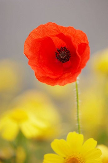 Common Poppy Papaver rhoeas isolated flower head amongst corn marigolds  Scotland  August : Stock Photo