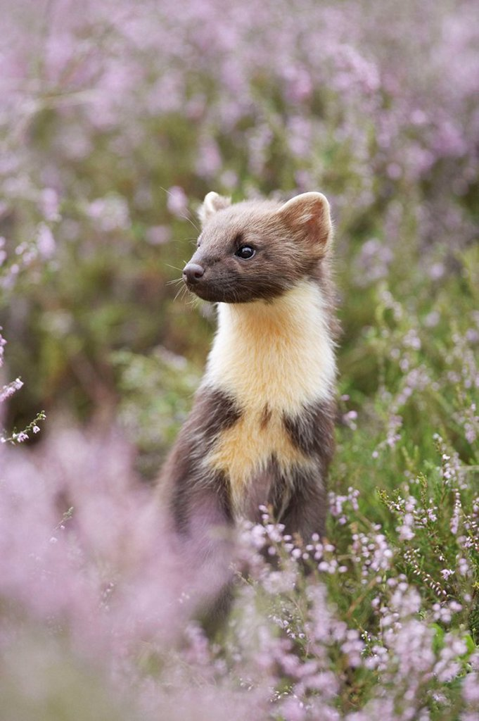 Stock Photo: 1566-426952 Pine marten Martes martes portrait of young female amongst flowering heather  Scotland  August 2007