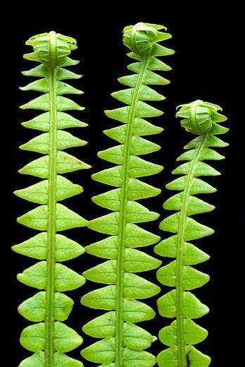 Stock Photo: 1566-428137 Hard fern (Blechnum spicant) detail of leaves