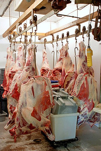 Hanging meat, butcher shop, cold storage, hanging steer quarters : Stock Photo