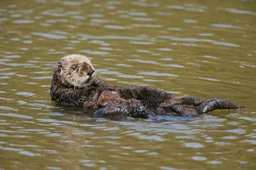 Sea otter (Enhydra lutris), Monterrey Bay, California, USA : Stock Photo