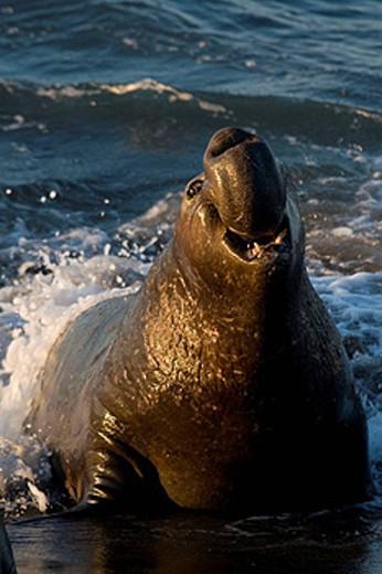 Stock Photo: 1566-429603 Northern Elephant Seals (Mirounga angustirostris). California, USA