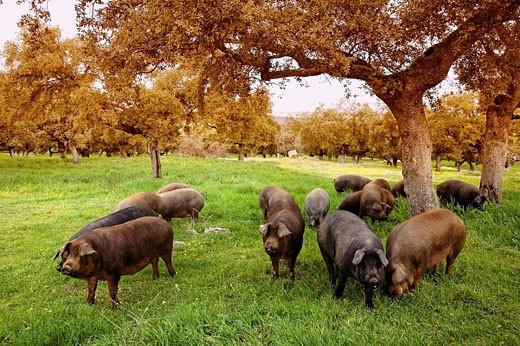 Stock Photo: 1566-430111 Iberian porks