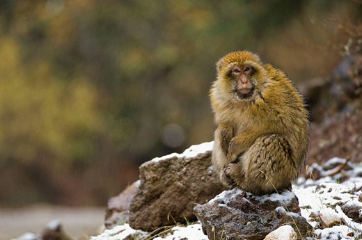 Stock Photo: 1566-431405 Barbary Macaque (Macaca sylvanus), Azrou, Morocco