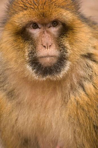 Barbary Macaque (Macaca sylvanus), Azrou, Morocco : Stock Photo