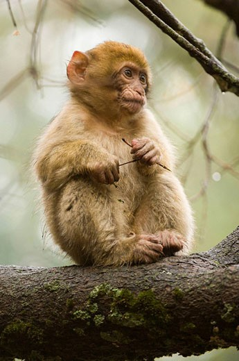Baby Barbary Macaque (Macaca sylvanus), Azrou, Morocco : Stock Photo
