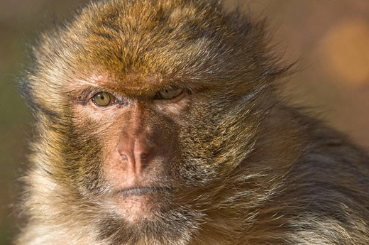 Barbary Macaque (Macaca sylvanus), Azrou, Morocco : Stock Photo