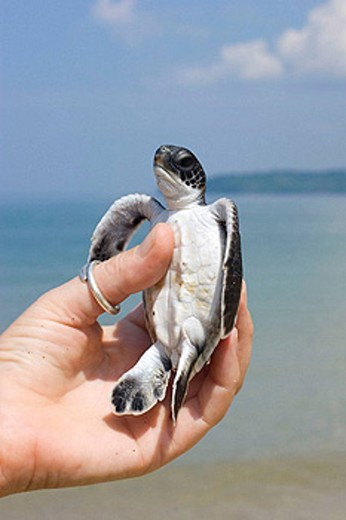 Stock Photo: 1566-431502 Green Turtle (Chelonia mydas), baby hold by a researcher´s hand