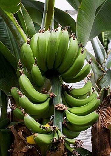 Chinese Dwarf Banana ´Dwarf Cavendish,´ native to Southern China  Musa Acuminata Musaceae : Stock Photo