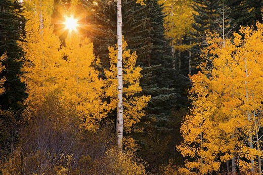 Stock Photo: 1566-432087 Autumn aspens contrast against evergreens near Oowah Lake in the La Sal Mountains outside Moab, Utah, USA